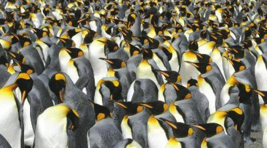 Kaiserpinguine in Gold Harbour